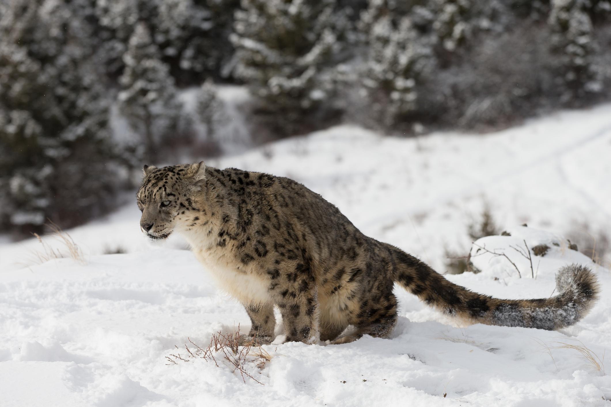 dreamstime_m_29474449 Conoce a la pantera de las nieves