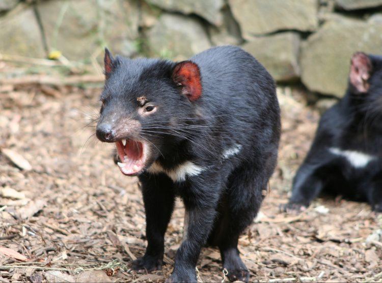 Se caracteriza por su desagradable olor, por su grito muy fuerte e inquietante, así como por su ferocidad cuando se alimenta.