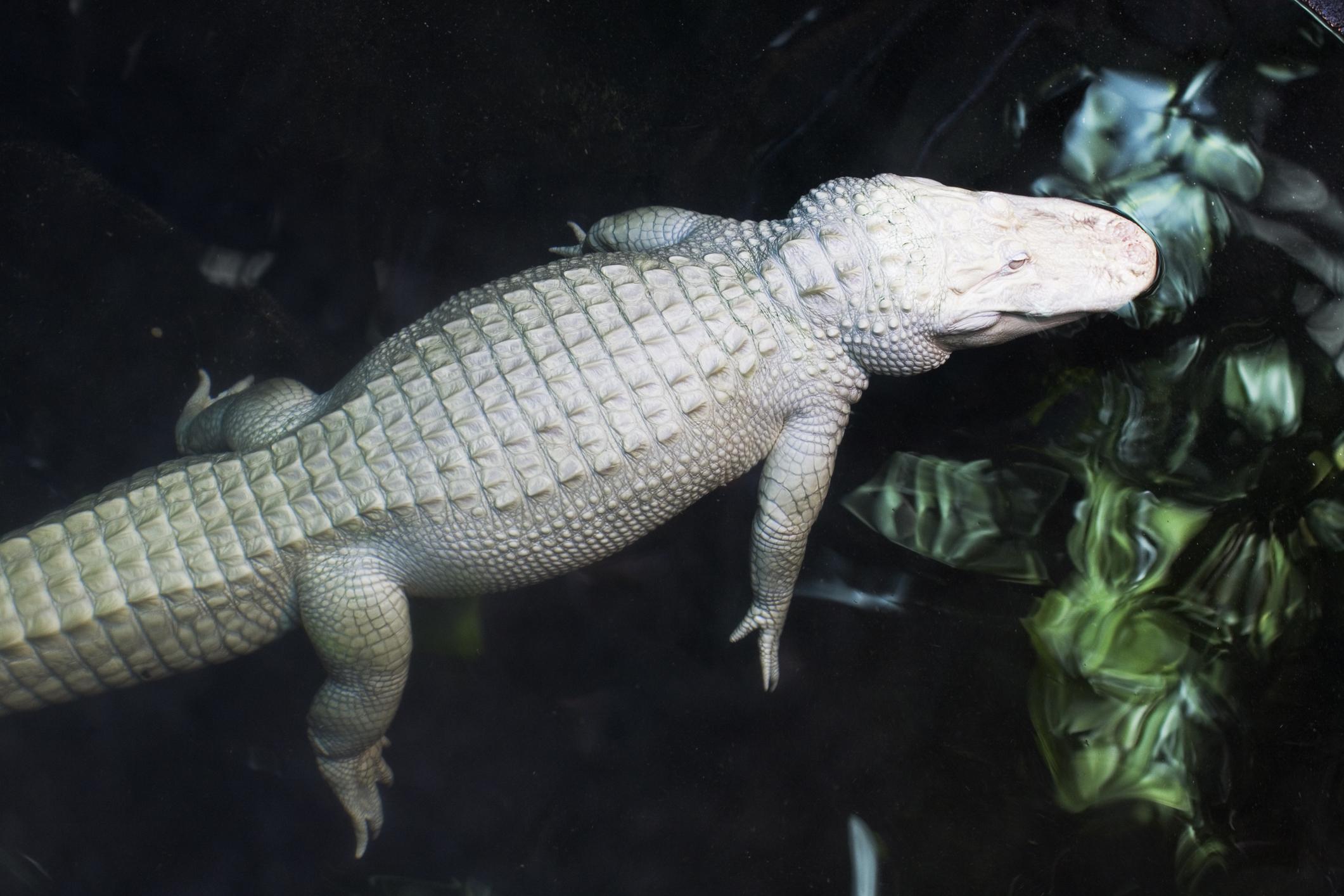 dreamstime_m_1075002 Conoce al cocodrilo albino