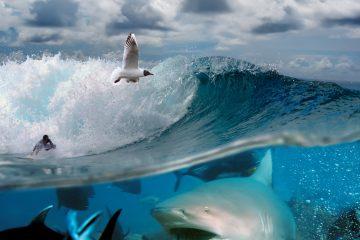 En Florida hay unas 60 especies de tiburones, si se cuentan los pequeños que habitan en aguas profundas y raras veces son vistos. Las más comunes son unas doce y de ellas las más agresivas son el tiburón toro y el tiburón tigre. (Dreamstime)
