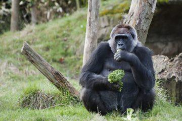 El canto de los gorilas es una forma de expresar la felicidad respecto a su comida.