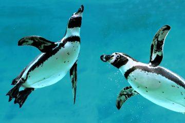 Los pingüinos machos son los encargados de empollar a la cría mientras la mamá sale a buscar comida. (Dreamstime)