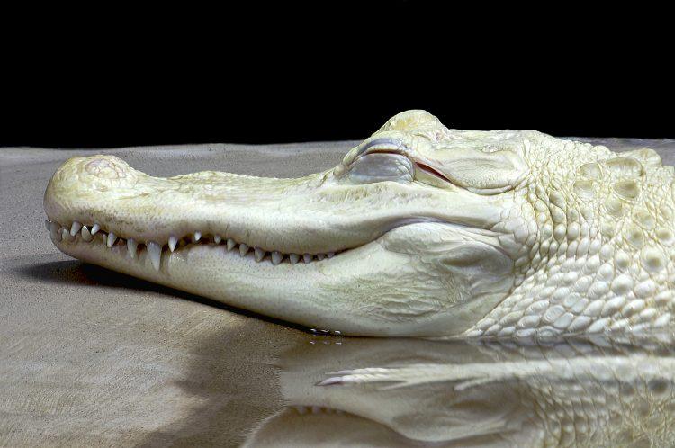 Whitey fue encontrado en los pantanos de Louisiana cuando era una cría.