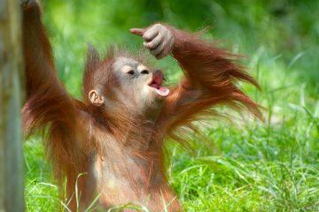 Los científicos examinaron para su estudio la alimentación y factores sociales -como tamaño del grupo o sistema de emparejamiento- de más de 140 especies de primates. (Dreamstime)