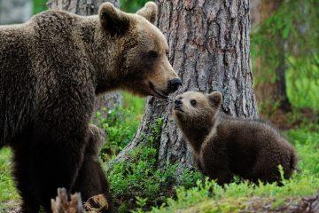 """Los expertos identificaron esta """"danza"""" mediante la observación de grabaciones de osos pardos en la cordillera Cantábrica y para confirmar su hipótesis realizaron análisis histológicos y bioquímicos (de la piel) y de comportamiento. (Dreamstime)"""