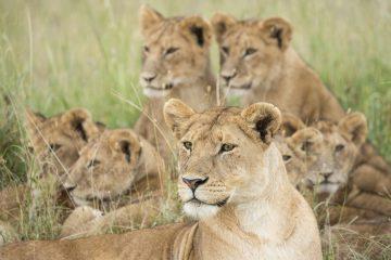 Una parte de los leones que viven en Cuba en la actualidad forma parte de una gran donación de 144 animales de 24 especies que realizó Namibia a la isla hace dos años, aunque hay otros que descienden de ejemplares regalados por Tanzania al entonces presidente cubano Fidel Castro en la década de los setenta. (Dreamstime)