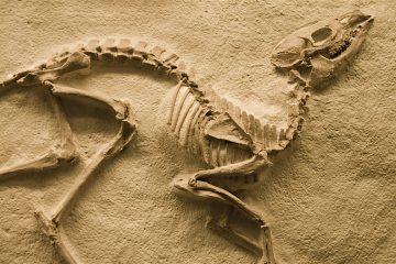 El cráneo y la mandíbula presentados en Nature presentaban la ventaja única de que fueron encontrados, aunque hechos añicos, uno al lado del otro, lo que permite suponer que era un único individuo. (Dreamstime)