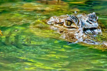 Un equipo de cazadores de caimanes de la Comisión para la Conservación de la Fauna y la Pesca (FWC) logró poco después atrapar al caimán que mordió a la mujer en el terreno de esta comunidad privada rodeada de naturaleza y compuesta por unas 300 viviendas, recogió el canal local Wink News. (Dreamstime)