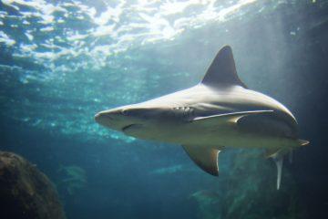En 2016 se registraron globalmente 81 ataques no provocados de tiburones a humanos, 17 menos que en 2015, y solo 4 de ellos fueron mortales, según el Archivo Internacional de Ataques de Tiburones (ISAF). (Dreamstime )