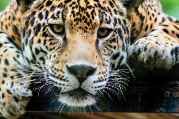 Las poblaciones de jaguar se pueden encontrar desde el norte de México hasta el norte de Argentina, teniendo una distribución fragmentada en el territorio colombiano. (Dreamstime)