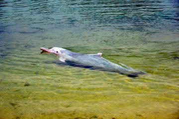 El seguimiento de sus actividades es posible gracias a la instalación de unos pequeños aparatos sobre los delfines que envían información de la localización de los animales varias veces por día en tiempo real. (Dreamstime)