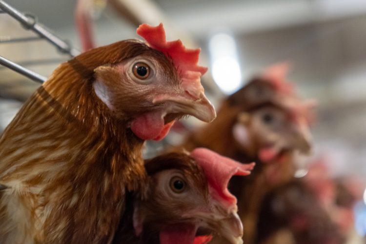 La restricción se extiende también a los piensos y aditivos para piensos de aves, enseres y equipamiento que haya estado en contacto con aves y el tránsito de aves vivas desde esos estados a través del territorio de Rusia.  (Dreamstime)