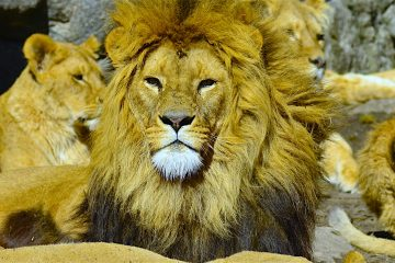 Algunos vecinos han declarado a los medios locales que en ocasiones vieron pasear a Prasek por los alrededores de su finca con la leona sujeta de una cuerda. (Dreamstime)