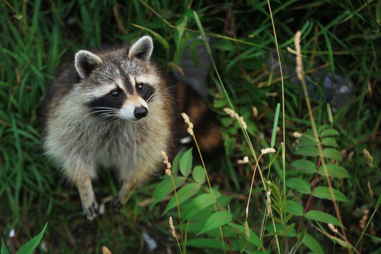 El Departamento de Parques está colocando carteles en Inwood Hill Park advirtiendo a los residentes que se mantengan alejados de los mapaches. (Dreamstime)