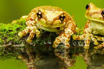 """Toad Busters, un compañía especialista en erradicación de plagas, señala en su página web que """"nunca se ha conocido un caso de muerte de humanos a causa del veneno"""" de estos sapos. (Dreamstime)"""