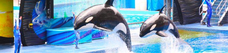 En su momento, la organización ecologista Greenpeace publicó imágenes de orcas y belugas con sarpullidos, furúnculos, llagas y manchas, que los especialistas atribuyen a infecciones víricas, bacterianas y micóticas. (Dreamstime)