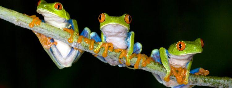 """Esta especie de rana (Xenopus laevis) es """"exótica e invasora"""", afirma el estudio, y llegó a Chile en la década de 1970 para quedarse, a tenor de los resultados de la publicación. (Dreamstime)"""