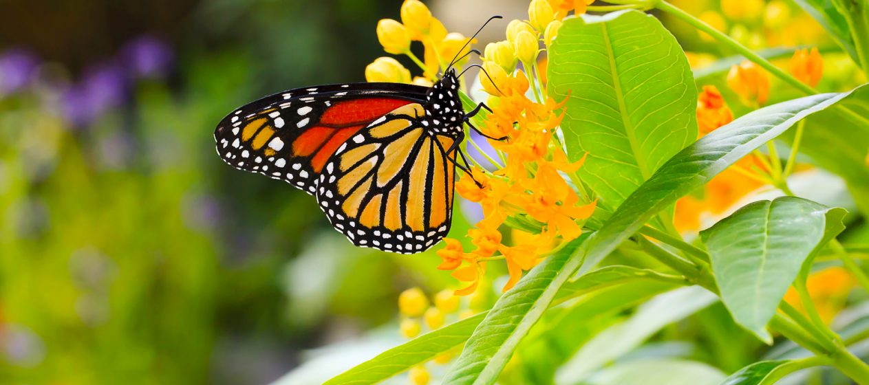 Esta investigación se centra en el conocimiento de la biodiversidad de las mariposas en el país andino, explicó el Instituto Nacional de Patrimonio en un comunicado. (Dreamstime)