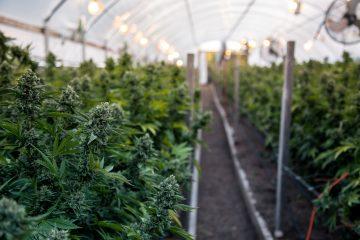 Los resultados de hace cinco años fueron dieron a conocer que la posibilidad de obtener marihuana para calmar el dolor o para uso recreativo iba a disminuir la utilización de opioides. (Dreamstime)