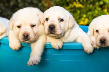 Los canes que cumplan con los criterios de selección recibirán al azar una vacuna o un placebo durante los exámenes rutinarios, que prevén realizar las universidades a partir de ahora y durante los próximos cinco años. (Dreamstime)