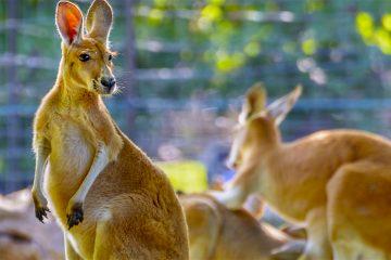 Atenta a lo que la cría necesite, tiene siempre su marsupio a la mano para recibirla y arroparla en sus brazos. Si está asustada, Ortega sabe que debe apretarla entre sus brazos tal y como lo haría una mamá canguro. (Dreamstime)