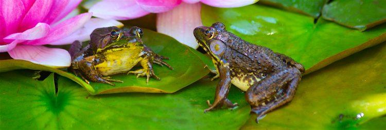 También ha ayudado a tejer relaciones de colaboración con otros países amazónicos, en donde hay abundancia de anfibios, sobre todo con Colombia y Perú. (Dreamstime)