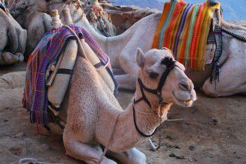 """Desde SPARE, Abaza relata a Efe que en octubre acudió al mercado por primera vez y vio que """"no paraban de golpear a los camellos"""" e intentó intervenir, pero no pudo hacer nada, por lo que decidió acudir a las autoridades. (Dreamstime)"""