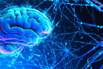 Los minicerebros, que tienen el tamaño de un guisante y se denominan organoides cerebrales, se obtienen de células madre humanas pluripotentes. (Dreamstime)
