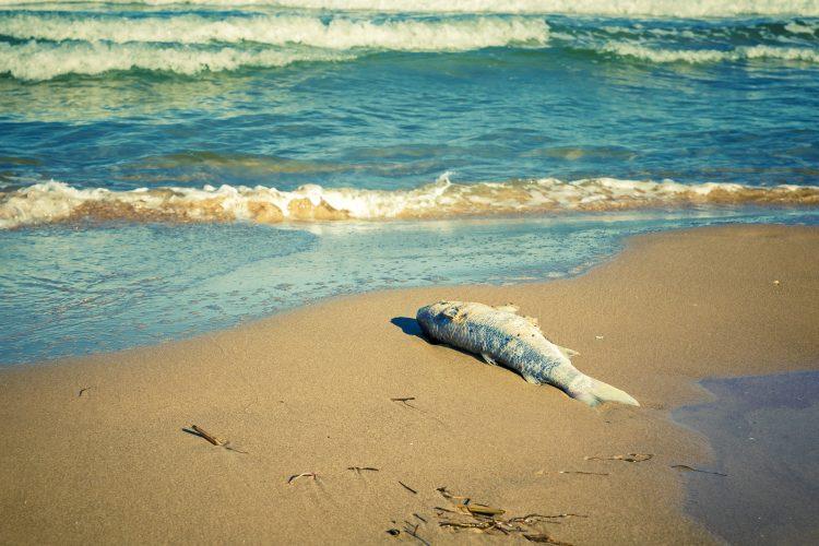 Lima detalló a Efe que las algas marinas, principal alimento de peces, reptiles, crustáceos y mamíferos marinos, son las primeras especies vivas afectadas por los vestigios de petróleo. (Dreamstime)