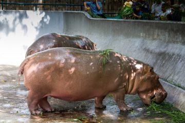 Los hipopótamos de Pablo Escobar podrían ayudar a contrarrestar un legado de extinciones, es decir, se ha visto que estos restauran muchos rasgos importantes que se habían perdido durante miles de años. (Dreamstime)