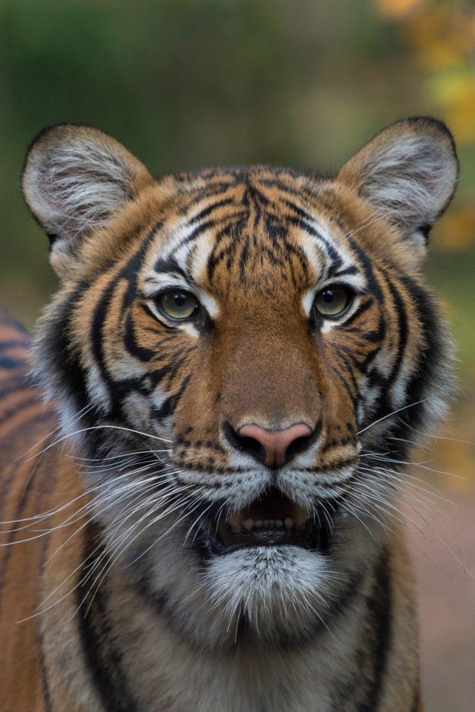 c6a940bf858dcc499e48b2f61f74a307240bc9f9-683x1024 ¡Nadia, la tigre tiene Coronavirus!