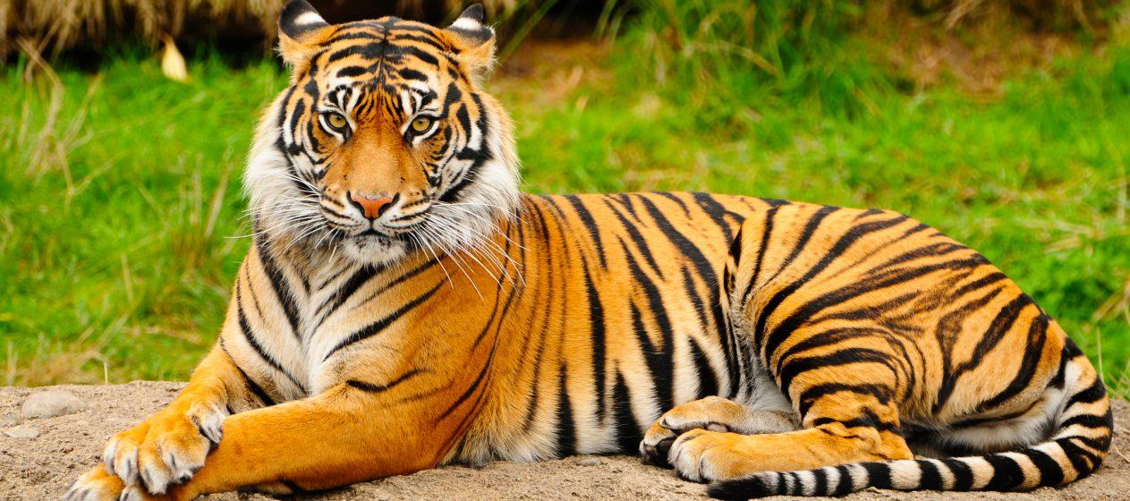 Un tigre del zoológico del Bronx, en Nueva York, dio positivo de coronavirus. Su nombre es Nadia.  (Dreamstime)