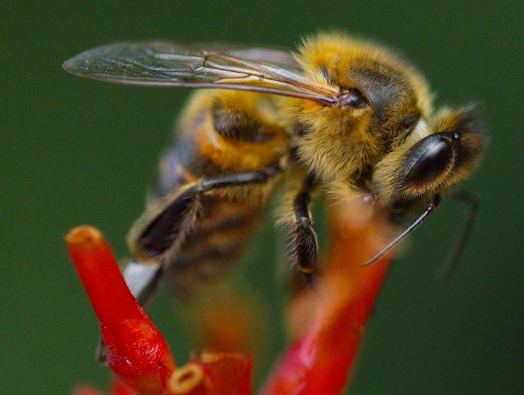 """Las """"avispas asesinas"""" (Vespa mandarinia) miden unos cinco centímetros -son por tanto significativamente más grandes que las abejas y que la mayoría de avispas-, tienen grandes cabezas naranjas con enormes ojos y un abdomen rayado negro y amarillo. (Dreamstime)"""