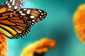 Los biólogos dieron con esta técnica mientras buscaban alternativas a la de cultivar plantas de néctar para alimentar a los ejemplares en cautividad. (Dreamstime)