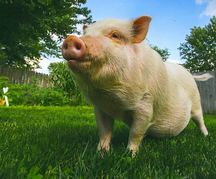Los investigadores, que ya mostraron la eficacia de su sistema para la recuperación de estos órganos de los cerdos, probaron en esta ocasión cinco pulmones humanos dañados. (Dreamstime)