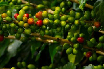 Los voluntarios campesinos, como Iván Antonio Centeno, un productor de café de la comunidad de Aguas Rojas, de 52 años, se las ingeniaron para sacar, cargando sobre sus lomos y con el lodo hasta la altura de sus rodillas, sus cosechas de café y de granos básicos. (Dreamstime)