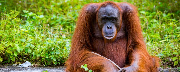 """Hasta ahora, el zoo de San Diego ha vacunado a cuatro orangutanes y cinco bonobos, también llamados chimpancés pigmeos, y planea inmunizar """"pronto"""" a otros tres bonobos y un gorila.  (Dreamstime)"""