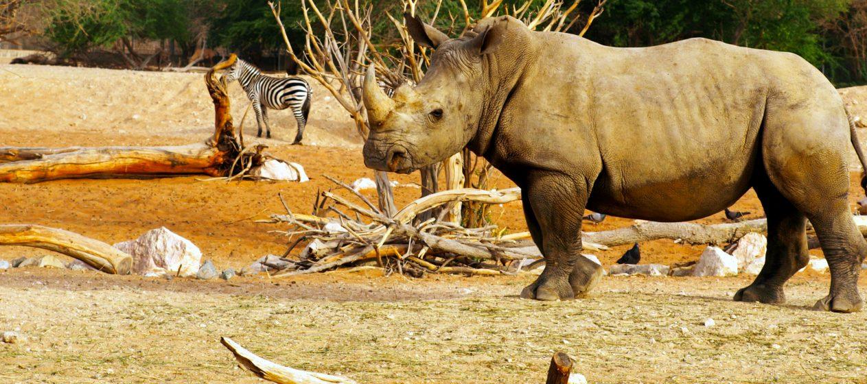 La población de rinocerontes blancos del sur se había reducido a unos 50 a 200 individuos a principios del siglo XX. (Dreamstime)