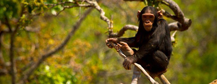 Los chimpancés también podían ver a los visitantes a través de las ventanas.  (Dreamstime)