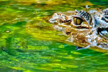 Según FWC, las lesiones graves causadas por los caimanes son raras en Florida.  (Dreamstime)