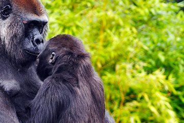 En enero pasado ocho gorilas del Zoo Safari Park de San Diego (California) se enfermaron y se recuperaron todos. Uno de ellos recibió un tratamiento experimental con anticuerpos. (Dreamstime)